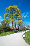 Spring Tree. In early spring begin to blossom on the tree leaves against the bright blue sky Royalty Free Stock Images
