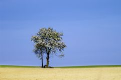 Spring tree. Fresh new blooming tree on the grassy and sandy field on the blue sky Stock Photos