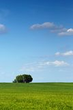 Spring tree. Lonely fresh green spring tree in the green grass' meadow Stock Images