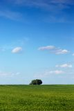 Spring tree. Lonely fresh green spring tree in the green grass' meadow Royalty Free Stock Photos
