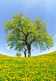 Spring tree. On dandelions field - fisheye shot Royalty Free Stock Photos