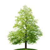 Spring tree Stock Images