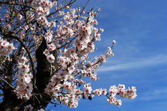 Spring Tree. Blossoming cherry trees in orchard in France royalty free stock images