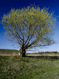 Spring tree against blue sky Royalty Free Stock Images