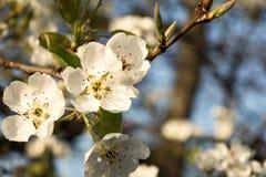 Spring tree blooming. White petals royalty free stock image