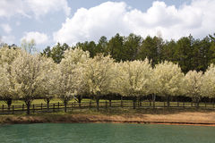 Spring Tree Blooms stock image