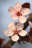 Spring tree blossom. Beautiful pale white and pink spring tree blossom Royalty Free Stock Photography