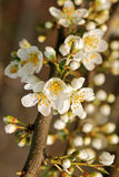 Spring tree blossom. Beautiful pale white spring tree blossom Royalty Free Stock Photo