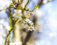 Spring tree blossom blooming, beautiful spring flowers Stock Image