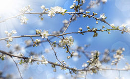 Spring tree blossom blooming in the sunlight, beautiful spring f Stock Photography