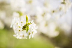 Spring tree blossom Stock Photo