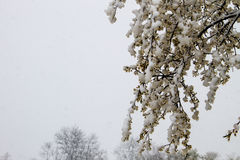 Spring tree blossom covered with snow during sudden April snow cyclone Royalty Free Stock Image