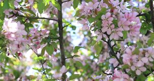 Spring tree blossom flowers with pink and red petals. Blossom blooming on tree in springtime. Apple tree flowers blooming. stock footage