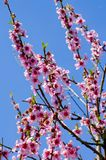 Spring Tree Blossom Royalty Free Stock Photography
