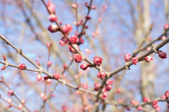 Spring tree blossom. Stockholm, Sweden in early April Stock Image