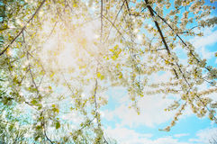 Spring tree blossom on sunshine and sky background Stock Image