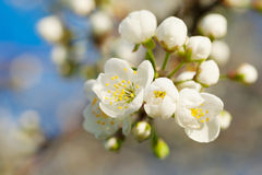 Spring tree blossom Stock Images