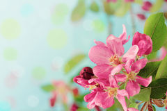 Spring Tree Blossoms Royalty Free Stock Photos