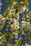 Spring Tree Blossoms. Closeup of a flowering tree in springtime Stock Photos