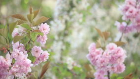Spring tree blossoms stock footage