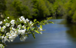 Spring Tree Blossoms in Maine stock photos
