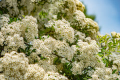 Spring tree blossoms, white flowers. Royalty Free Stock Image
