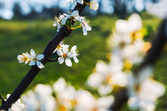 Spring tree blossoms Stock Images
