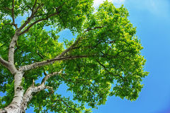 Spring tree and blue sky Royalty Free Stock Photography