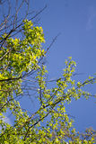 Spring tree with blue sky Royalty Free Stock Photography