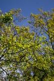 Spring tree with blue sky Royalty Free Stock Photos