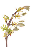 Spring tree branch with buds. Fresh new tree branch with buds over white royalty free stock photography