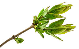 Spring tree branch with fresh buds isolated on white Royalty Free Stock Photo