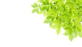Spring tree branch Green leaves white background Nature banner Stock Photos
