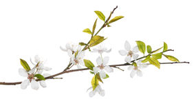 Spring tree branch with light flowers. Cherry tree flowers isolated on white background royalty free stock images