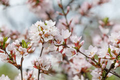 Spring tree branch white flowers macro view. soft focus Nanking cherry, Prunus tomentosa. deciduous shrub macro view. Stock Photo