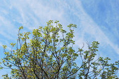 Spring tree branches against the morning sky Royalty Free Stock Photos