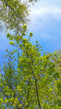 Spring tree branches on blue sky Stock Images