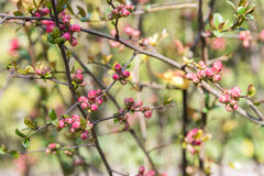 Spring Tree Branches And Buds Stock Photography