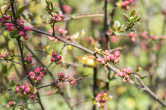 Spring Tree Branches And Buds Royalty Free Stock Photo