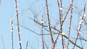 Spring tree branches. Move in the wind stock video