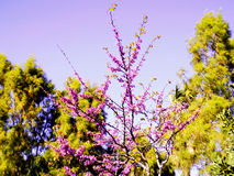 Spring tree with branches and pink flowers. In the park`s garden stock image