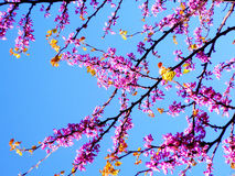 Spring tree with branches and pink flowers. In the park`s garden royalty free stock photos