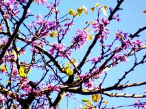 Spring tree with branches and pink flowers. In the park`s garden royalty free stock image