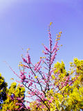 Spring tree with branches and pink flowers. In the park`s garden royalty free stock photography