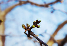 Spring tree bud. Closeup of a spring tree bud stock photography