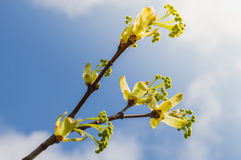 Spring tree bud exploding in sunlight Royalty Free Stock Photos