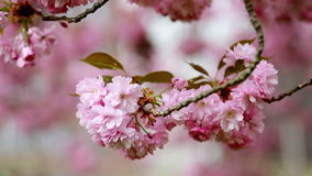 Spring tree cherry season stock footage