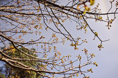 Spring tree with first leaves in the forest Royalty Free Stock Photos
