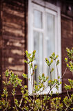 Spring tree with first leaves with window on background Stock Photos