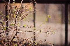 Spring tree with first leaves with windows on background Royalty Free Stock Image